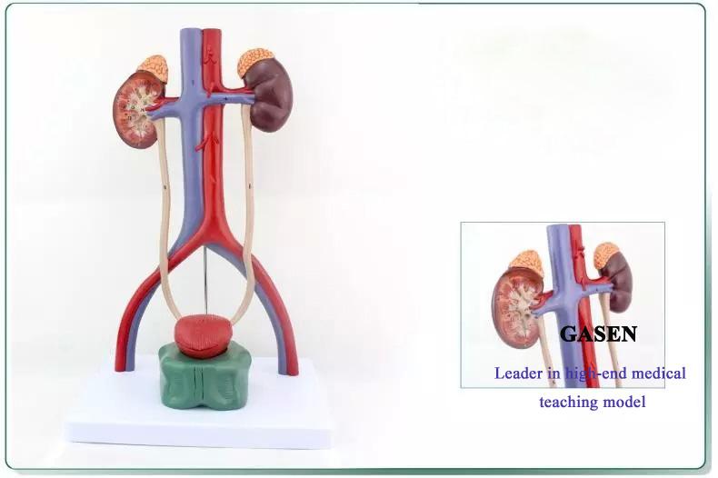 urinary system5