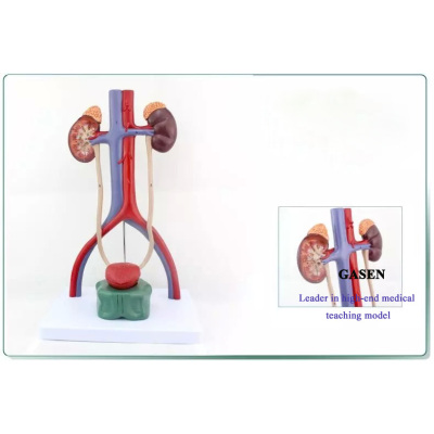 HUMAN MEDICAL TEACHING HIGH QUALITY REALISTIC REPRODUCTIVE MODEL HUMAN URINARY SYSTEM MODEL-GASEN-SZ013