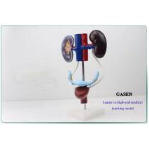 FEMALE GENITOURINARY SYSTEM MODEL-GASEN-SZ018