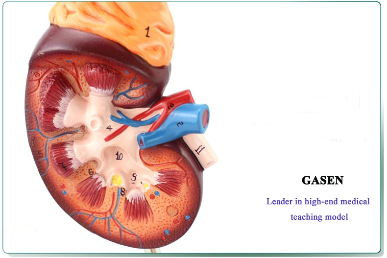 kidney05
