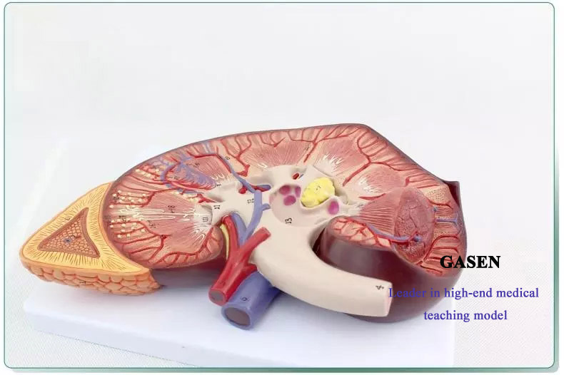 Kidney4