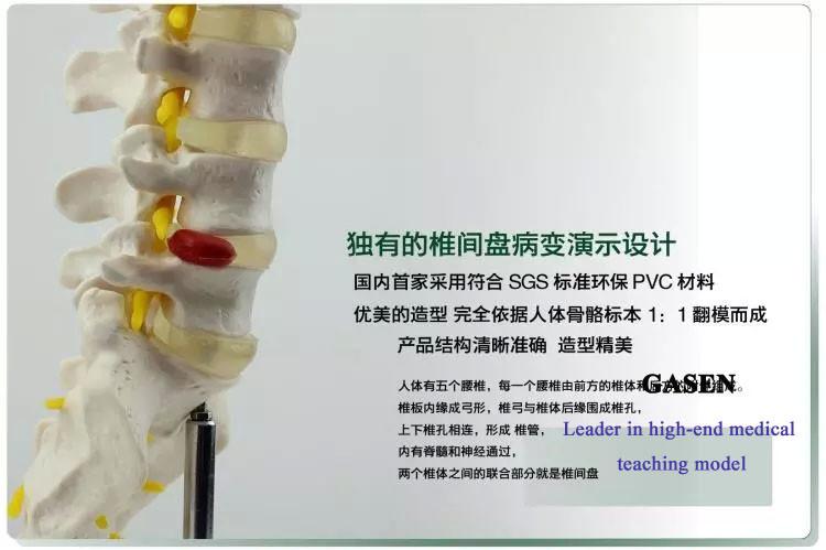 The five lumbar anatomy model1