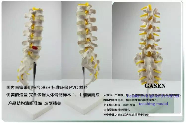 The five lumbar anatomy model2