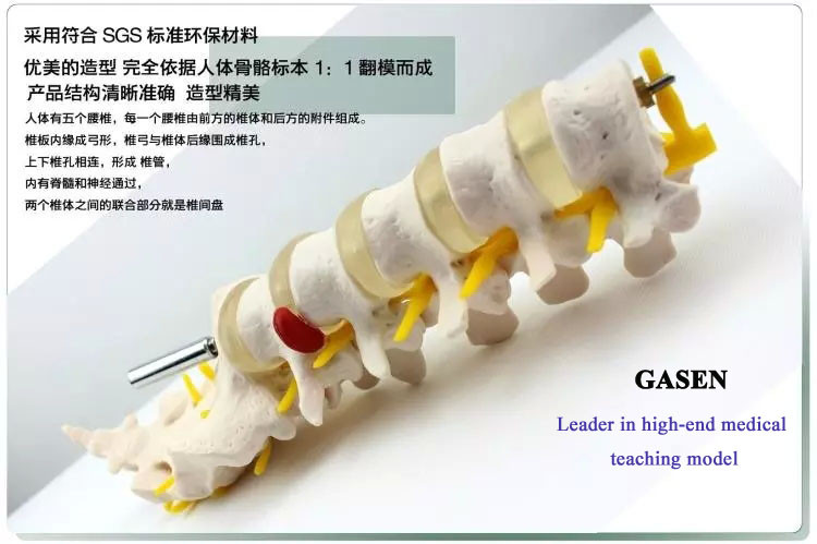 The five lumbar anatomy model3