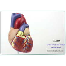 1: 1 MODEL OF THE HUMAN HEART ANATOMY MEDICAL ULTRASOUND B-COLORED HEART MEDICINE TEACHING MODEL 1:1HUMAN HEART MODEL-GASEN-XZ001