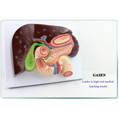 HEPATOBILIARY PANCREATIC TWELVE INTESTINES SECTION STRUCTURAL MODEL OF GASTRIC GASTROENTEROLOGY MEDICAL WHIPPLE GASEN-XH001
