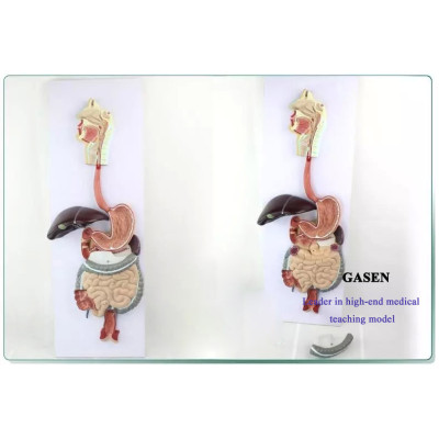 GENUINE MEDICAL MODEL OF THE HUMAN DIGESTIVE SYSTEM MODEL OF LIVER ANATOMY HUMAN DIGESTIVE SYSTEM MODEL-GASEN-XH006