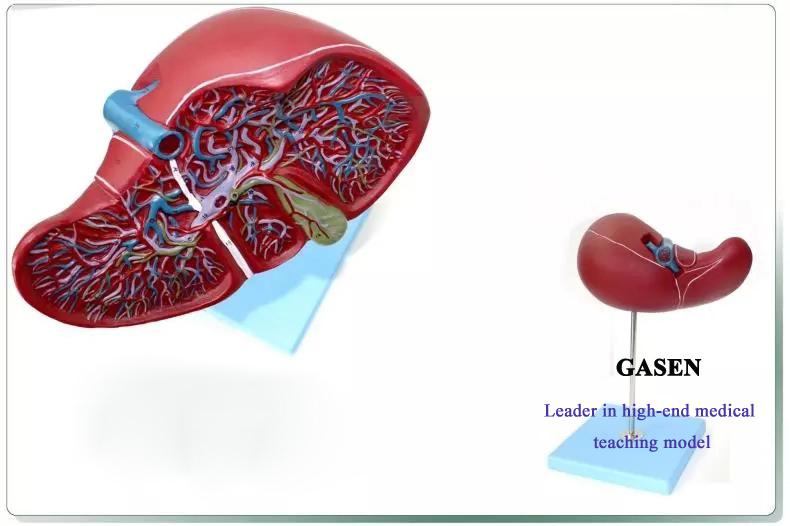 hepatocystic1