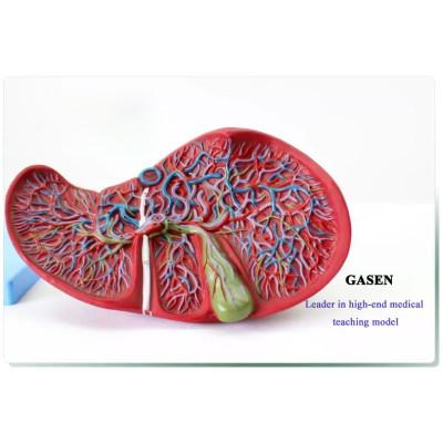 MEDICAL  MODEL OF HUMAN LIVER  GALLBLADDER  LIVER HEPATIC VASCULAR STRUCTURES HUMAN DIGESTIVE SYSTEM LIVER GALLBLADDER MODEL-GASEN-XH011
