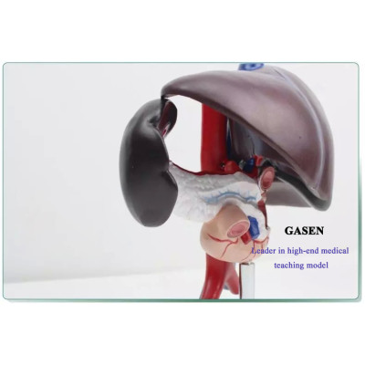 LIVER AND PANCREATIC STRUCTURAL MODEL OF LIVER SPLEEN BLOOD VESSEL PANCREAS HUMAN DIGESTIVE SYSTEM THE LIVER PANCREAS DUODENUM MODEL-GASEN-XH013