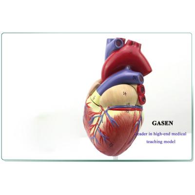 COMMODITIES MEDICAL ULTRASOUND HUMAN HEART MODEL CARDIOLOGY COLOR DOPPLER ULTRASOUND B-CARDIAC ANATOMY MODEL B ULTRASOUND HEART MODEL-GASEN-XZ002