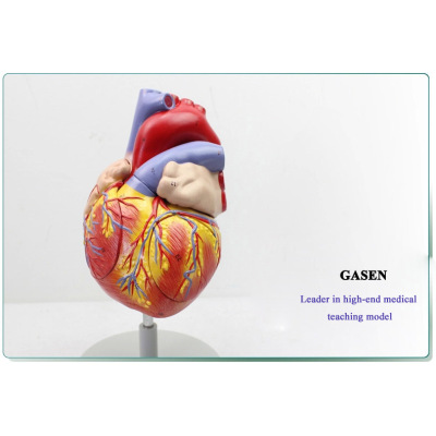 GENUINE ENLARGED VERSION ANATOMICAL MODEL OF THE HUMAN HEART HEART MODEL OF MEDICAL TEACHING AIDS THE HUMAN HEART MODEL-GASEN-XZ003