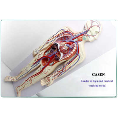 MODEL OF THE HUMAN CIRCULATORY SYSTEM AND PULMONARY CIRCULATION CARDIOVASCULAR MEDICAL ANATOMY THE BLOOD CIRCULATORY SYSTEM MODEL-GASEN-XZ004