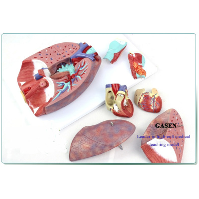HUMAN ANATOMY MODEL OF CARDIOPULMONARY THROAT ENT MEDICAL ANATOMICAL MODEL OF THE RESPIRATORY SYSTEM LUNG ANATOMY MODEL-GASEN-XZ007