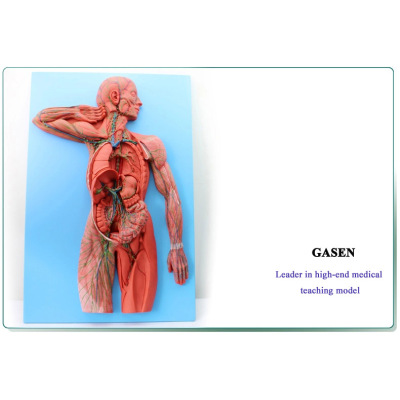 MEDICAL MODEL OF HUMAN ANATOMY OF THE LYMPHATIC SYSTEM MODEL LYMPH LYMPHATIC LYMPHOID ORGANS THE HUMAN LYMPHATIC SYSTEM MODEL-GASEN-XZ010