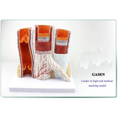 HUMAN BLOOD VESSEL MODEL ARTERIAL AND VENOUS ANATOMY ZOOM MODEL ARTERIAL VENOUS STRUCTURES ARTERY VEIN STRUCTURE MODEL-GASEN-XZ012