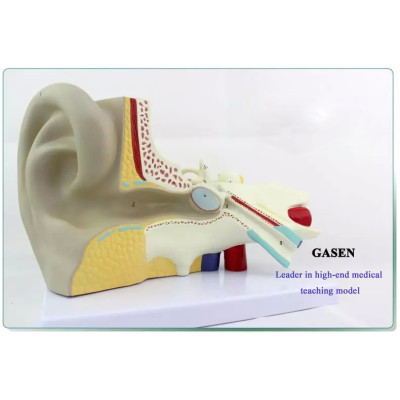 MEDICAL MODEL OF THE HUMAN EAR STRUCTURE OF THE AUDITORY SYSTEM OF THE INNER EAR LABYRINTH MODEL OTOLARYNGOLOGY EAR ANATOMY MODEL-GASEN-EBH002