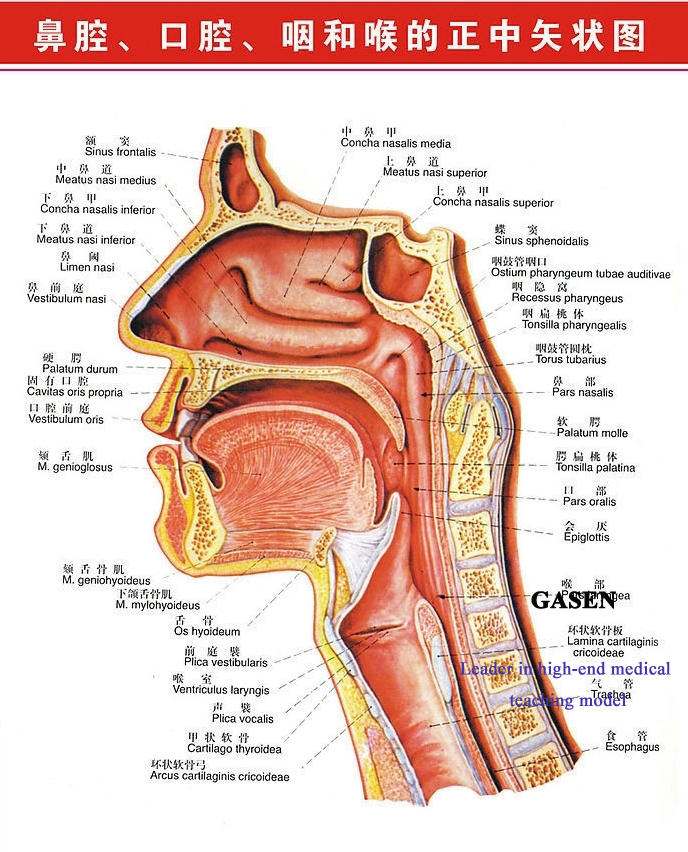 throat nasal cavity1