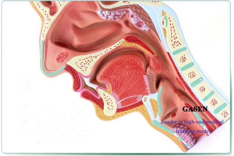ear nose pharynx02