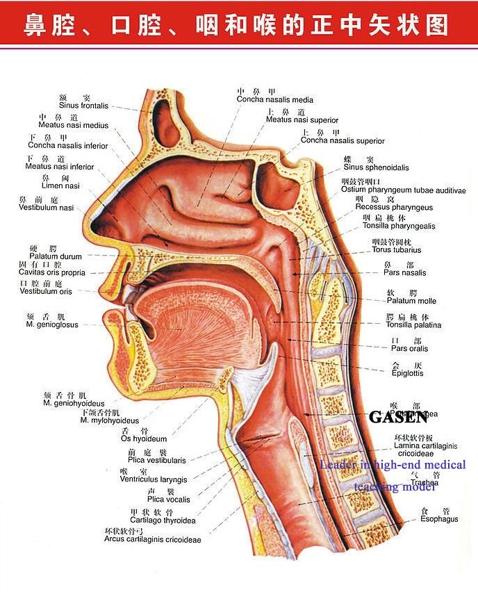 ear nose pharynx09