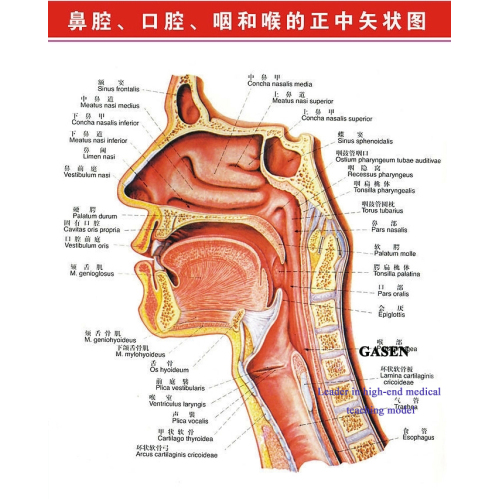 Anatomy Of The Ear Nose And Throat 116