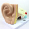 MEDICAL MODEL OF THE HUMAN EAR EXTERNAL EAR MIDDLE EAR INNER EAR OTOLARYNGOLOGY AUDITORY SYSTEM MODEL THE STRUCTURE MODEL OF EAR ANATOMY-GASEN-EBH007