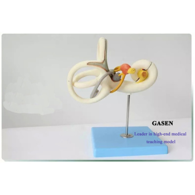 ENLARGE MODEL OF HUMAN AUDITORY SYSTEM OF THE INNER EAR LABYRINTH ENT DOCTOR-PATIENT COMMUNICATION AIDS VESTIBULAR ENLARGEMENT MODEL-GASEN-EBH009