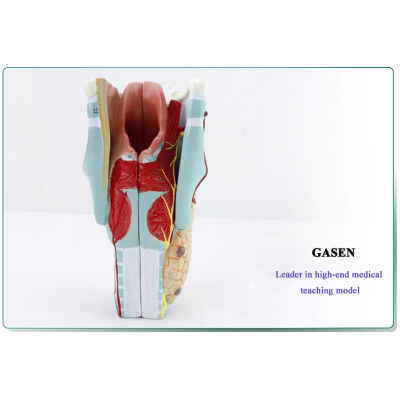 MEDICAL MODEL OF HUMAN ANATOMY THROAT LARYNGEAL MUSCLES LARYNGEAL CARTILAGE THROAT OTOLARYNGOLOGY MEDICAL MODEL LARYNGEAL STRUCTURE MODEL-GASEN-EBH010