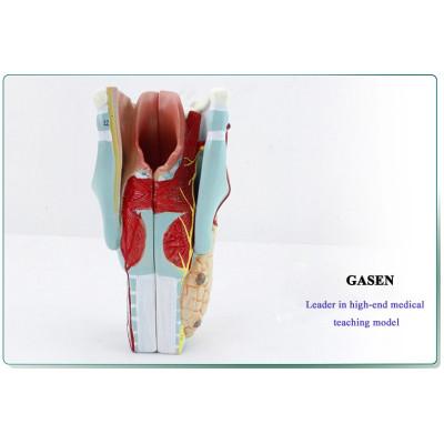 MEDICAL MODEL OF HUMAN ANATOMY THROAT LARYNGEAL MUSCLES LARYNGEAL CARTILAGE THROAT OTOLARYNGOLOGY MEDICAL MODEL LARYNGEAL STRUCTURE MODEL-GASEN-EBH010