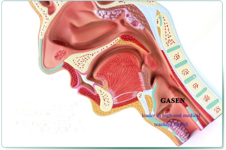 nasopharyngeal cavity2