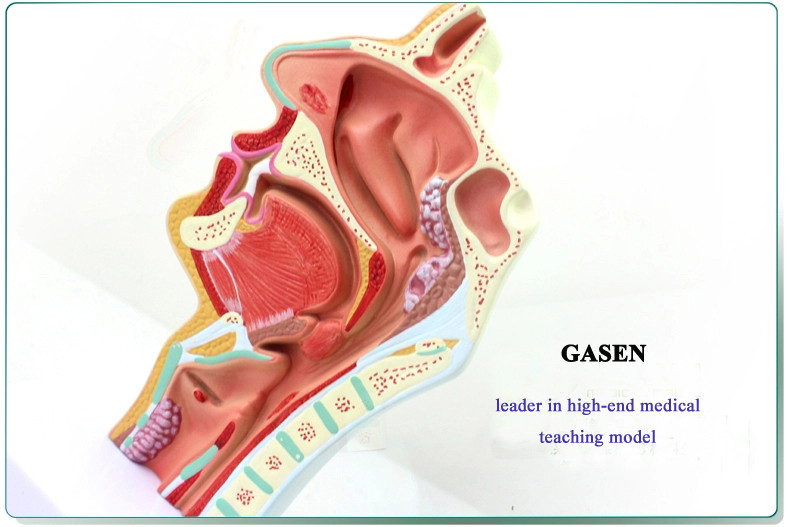 nasopharyngeal cavity4