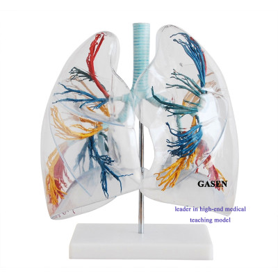 MEDICAL MODEL OF HUMAN LUNG ANATOMY LUNG SEGMENT BRONCHIAL TREE THORACIC SURGERY AND DEPARTMENT OF RESPIRATORY MEDICINE MODEL LUNG ANATOMY MODEL-GASEN-HX003