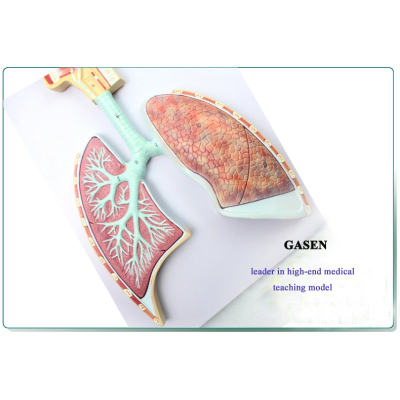 HUMAN RESPIRATORY ANATOMICAL MODEL NASAL AIRWAY LOBAR BRONCHI MODEL SYSTEMATIC ANATOMY MODEL-GASEN-HX006