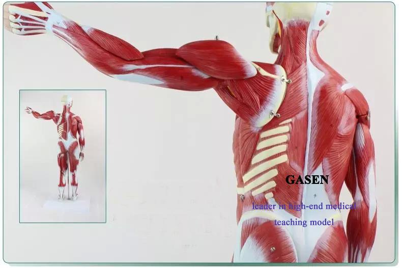 human muscle1