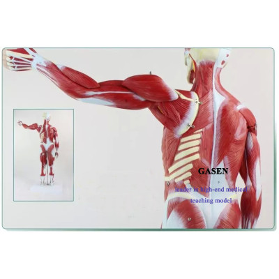 HUMAN BODY  MUSCLE MODEL ATTACHED TO ANATOMICAL MODEL INTERNAL ORGANS MEDICAL BODY MUSCLE MODEL GASEN-JR001