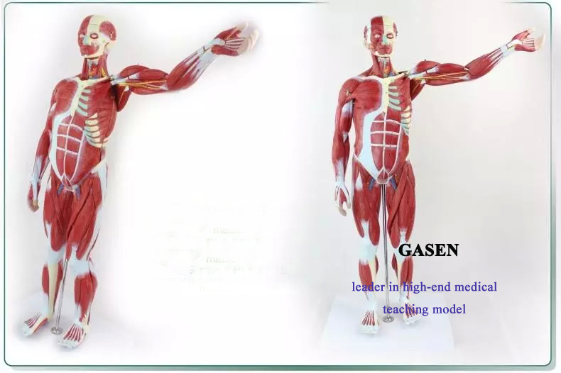 human muscle4