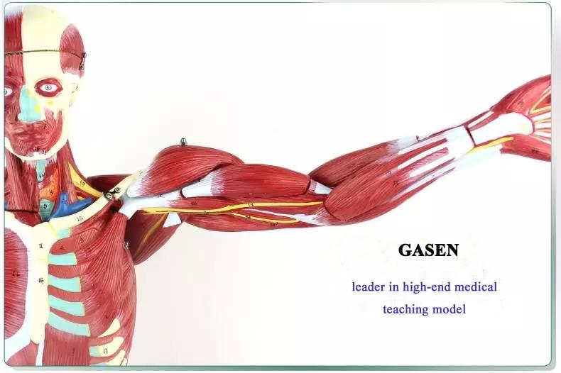 human muscle6