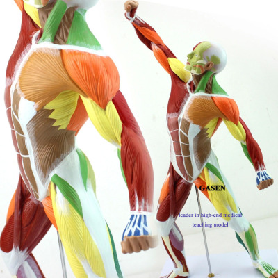 MEDICAL ARTIST WITH THE HUMAN BODY MUSCLE MOTION MODEL OF SHALLOW DISSECT MOTOR SYSTEM Muscle MODEL-GASEN-JR002