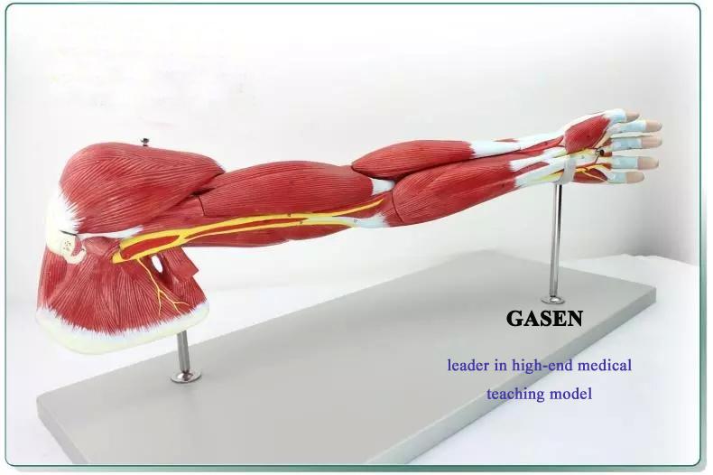 Upper limb muscle anatomy1