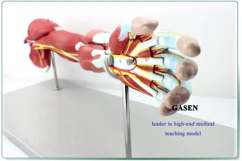 Upper limb muscle anatomy2