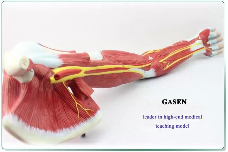 Upper limb muscle anatomy3