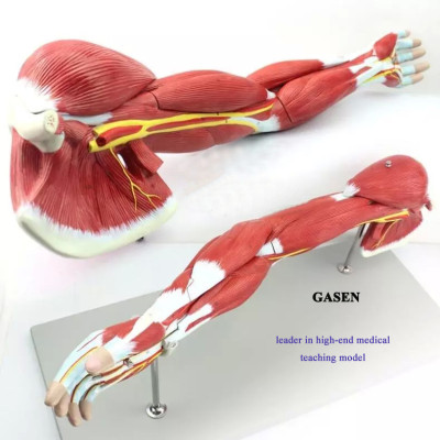 HIGH-END UPPER LIMB MUSCLE ANATOMY MODEL ARM MUSCLE MODEL HUMAN BODY MUSCLE MOTOR SYSTEM MODEL GASEN-JR003