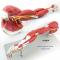 HIGH-END UPPER LIMB MUSCLE ANATOMY MODEL ARM MUSCLE MODEL HUMAN BODY MUSCLE MOTOR SYSTEM MODEL GASEN-JR003