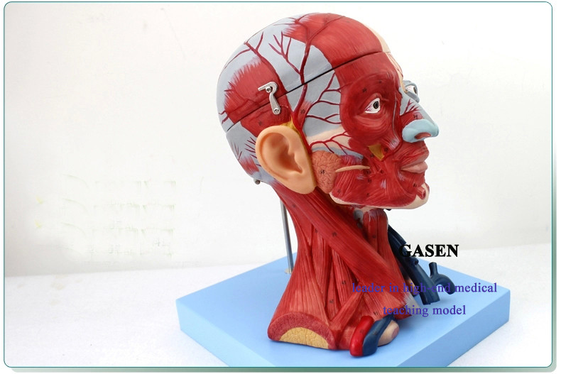 Head and neck muscles5