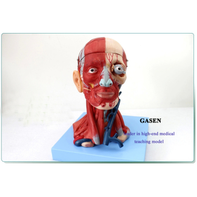 MEDICAL HUMAN HEAD AND NECK MUSCLES BLOOD VESSELS ATTACHED TO THE BRAIN HEAD TRAUMATIC BRAIN NEUROLOGY TEACHING MODEL GASEN-JR004