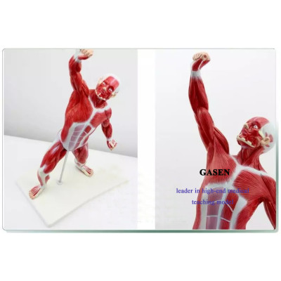 HUMAN BODY MUSCLE MOTOR MODEL SHALLOW MUSCLE ANATOMY HUMAN BODY THE WHOLE BODY MUSCLE MODEL-GASEN-JR005