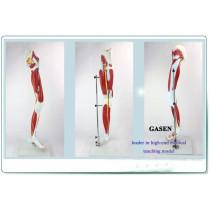 MODEL OF HUMAN LEG MUSCLE BLOOD VESSELS AND NERVES MEDICAL ANATOMY LEG MOVEMENT SYSTEM LOWER LIMB MUSCLE MODEL-GASEN-JR006