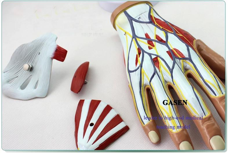 Hand anatomy01