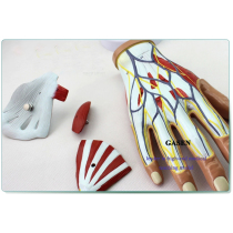MEDICAL HUMAN  MUSCLES NEUROVASCULAR ANATOMY MODEL HAND TENDON LIGAMENT JOINTS HAND ANATOMY MODEL-GASEN-JR007