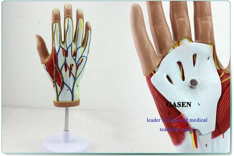 Hand anatomy02
